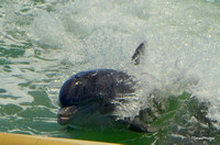 Porpoise playing in the Gulf